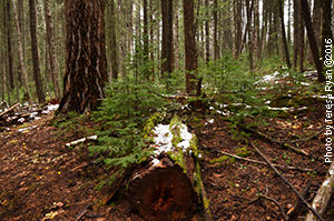 Mother tree Douglas fir with successive generations of kin and Hemlock saplings