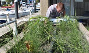 Biohabitats intern inspecting a pier mesocosm project