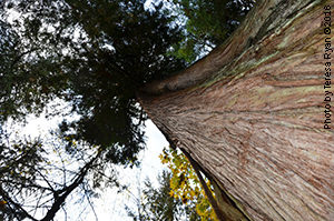 Mother tree western red cedar in Vancouver-culturally modified about 100 years ago by Aboriginal bark stripping and healed