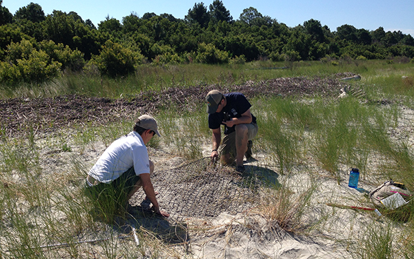 Placing protective mesh atop a loggerhead nest