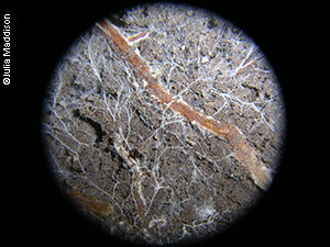 Mycelium in the soil