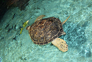 Calypso, a 500-lb green sea turtle (Chelonia mydas)
