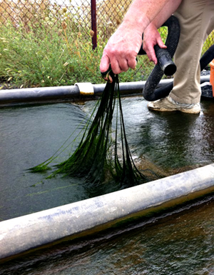 "Attached algal ""turf"" pulls nutrients and traps sediment from inflow while pumping dissolved oxygen into outflow"