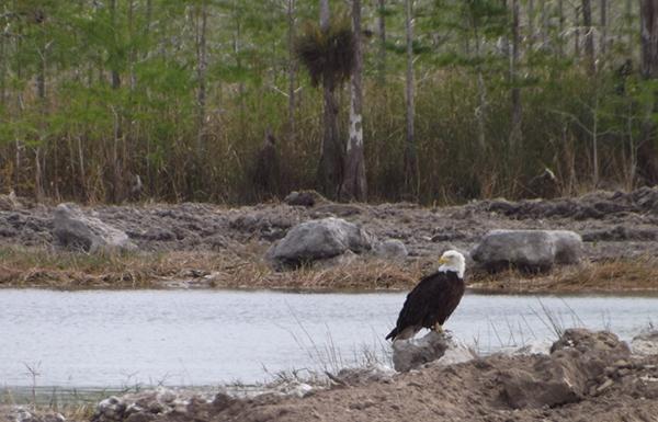 Bald eagle at Fifty Mile Bend after restoration