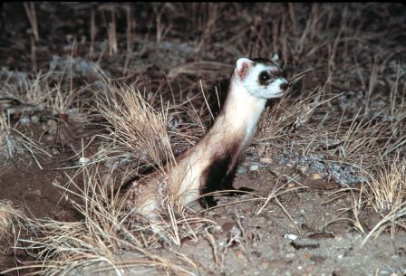 Black footed ferret ©Dean Biggins