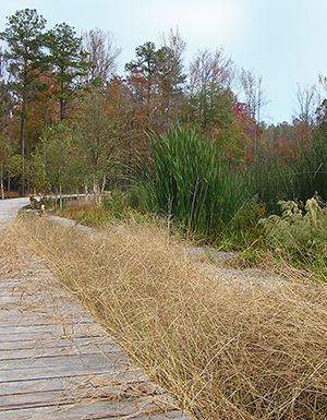 Wetland edge with boardwalk