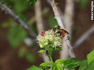 Black tail bumblebee (Bombus melanopygus)