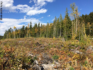 A clear-cut site in Canada