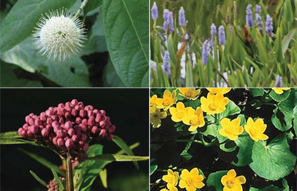 Four of the native wet meadow mix species planted (clockwise from top left) buttonbush (Cephalanthus occidentalis), pickerel weed ( Pontederia cordata), marsh marigold (Caltha palustris),swamp milkweed (Asclepias incarnata)