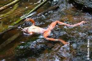 Frog (of the genus Craugastor) killed in Panama by Bd