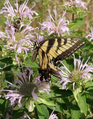 Eastern tiger swallowtail (Papilio glaucus) on wild bergamot (Monarda fistulosa) at Kelsey Creek