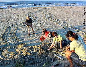 Sea turtle nest protection volunteers