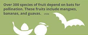 Fact_fruit+bats