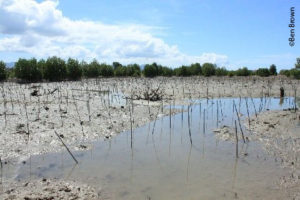 Failed mangrove planting, Gorontalo, Indonesia