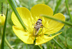 A fly on a buttercup in high altitude