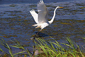 Great egret (Ardea alba) taking advantage of restored coastal habitat in DE.