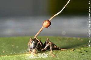 Infected carpenter ant (Camponotus leonardi)