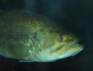 Largemouth bass (Micropterus salmoides)
