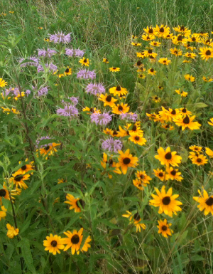 Native wildflowers thrive in the park