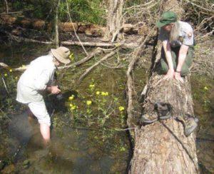 Looking for salamander eggs
