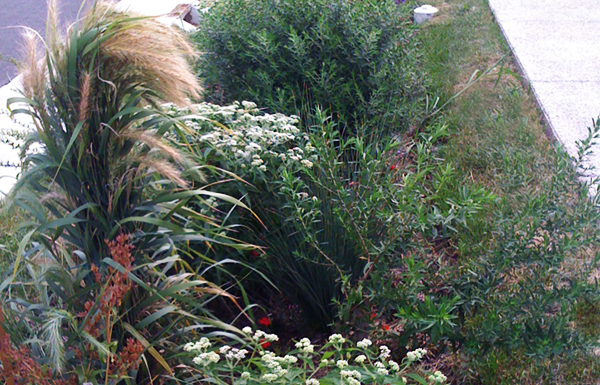 Bioswale with native vegetation grown in