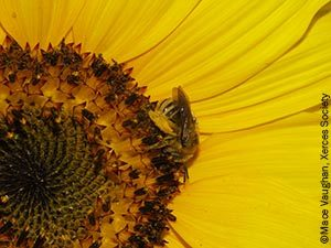 Bee (genus Melissodes) on sunflower (genus helianthus)