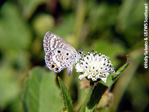 Miami blue butterfly (Cyclargus thomasi bethunebakeri) became listed as federally endangered in 2012