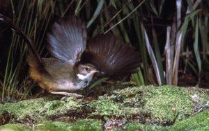 Noisy Scrub-bird. © Bert & Babs Wells/DEC