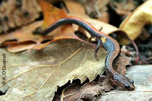 Southern red-backed salamander (Plethodon serratus)