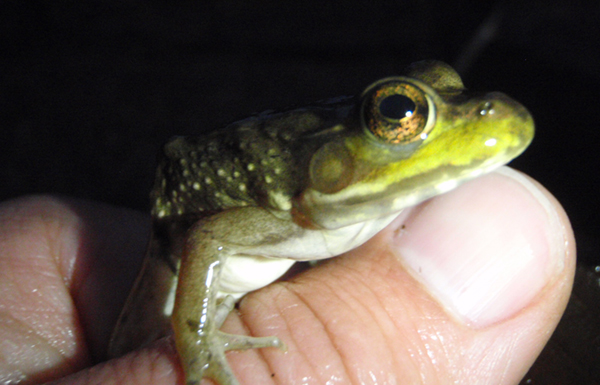 Green frog (Rana calmitans)