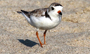 Threatened species were protected during Hurricane Sandy-related beach nourishment projects
