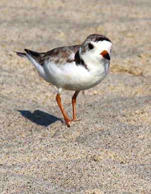 A piping plover adult (Charadrius melodus) in Sea Bright, New Jersey