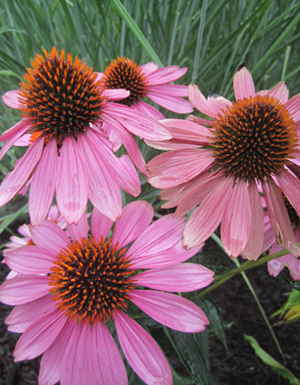 Purple coneflower (Echinacea purpurea), one of the native species planted on the pollinator garden berms
