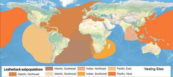 Global distribution of leatherbacks (Dermochelys coriacea) ©NOAA