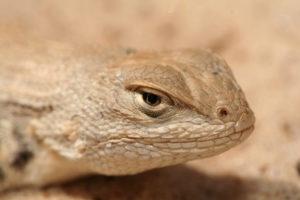 Dunes sagebrush lizard ©USFWS