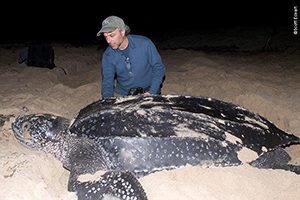 Carl Safina with a leatherback (Dermochelys coriacea)