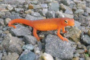 Eastern spotted newt/red eft (Notophthalmus viridescens)