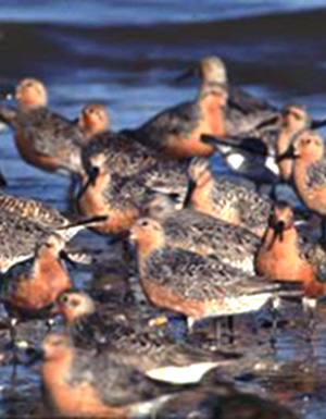 Red knots and other endangered species will benefit from the restoration.