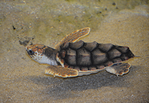 Sheldon, a rescued juvenile loggerhead (Caretta caretta)