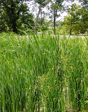 Cattails and bulrushes in the wetland cells