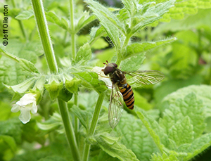 Hoverfly (family Syrphidae) on lemon balm (Melissa officinalis)