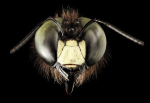 Eastern carpenter bee (Xylocopa viginica), native to U.S., ©USGS