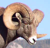 Radio-collared Bighorn sheep ©Parks Canada