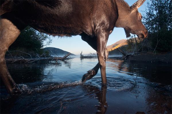 Moose crossing Ealue Lake ©Paul Colangelo