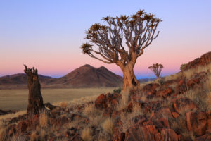 Quiver trees (Aloe dichotoma), living and dead, in Namibia.