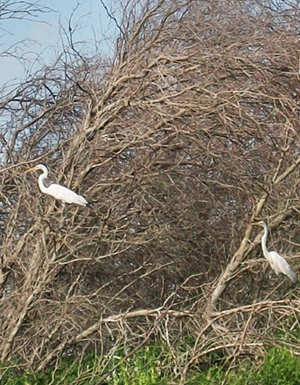 Great white egret (Ardea alba) roosting in a copse of trees