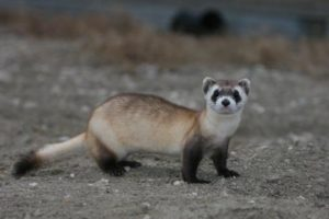 Black-footed Ferret ©Parks Canada