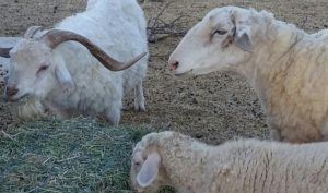 Harold's goats