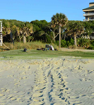 Loggerhead tracks led to a nest in a golf course sand trap