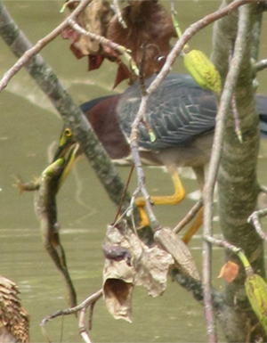 A green heron (Butorides virescens) feeding at the restored Lizard Hill site